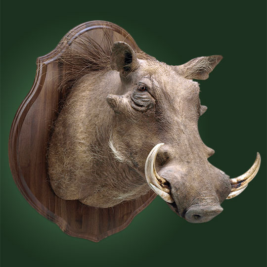 Classic-Walnut-Taxidermy-Plaque-Warthog-Mount