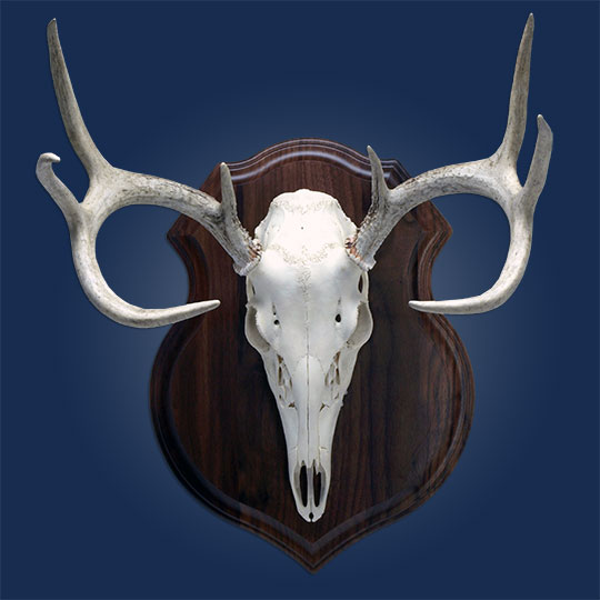 Crest-Walnut-Taxidermy-Plaque-Skull-Mount