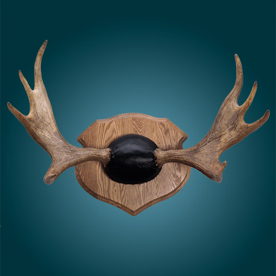 Moose-Taxidermy-Extra-Wide-Plaque-Moose-Rack-Mount