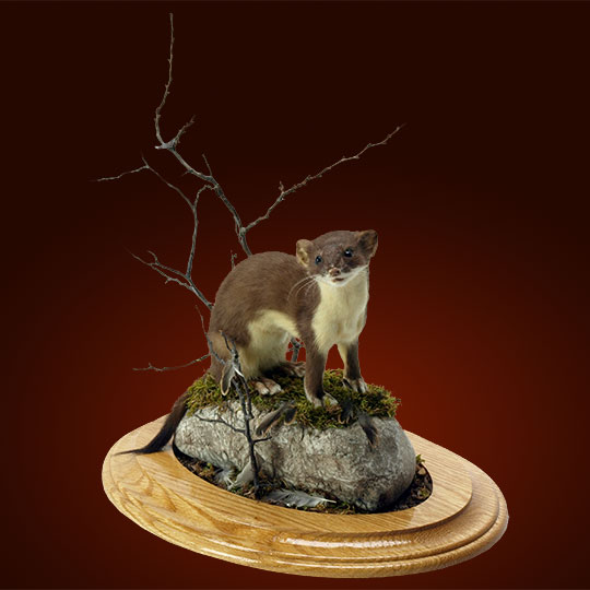 Oval-Taxidermy-Base-Oak-Weasel-Mount