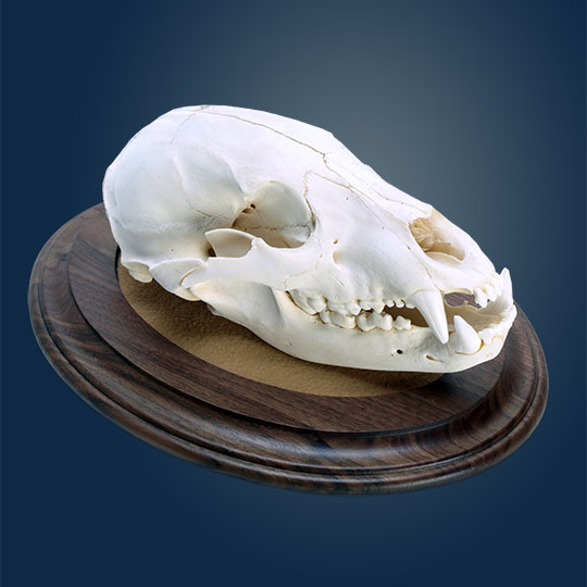 Oval-Taxidermy-Base-Walnut-Bear-Skull-Mount