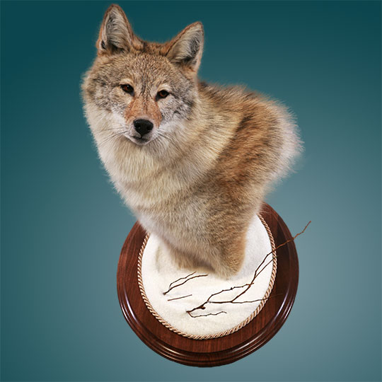 Oval-Taxidermy-Base-Walnut-Wolf-Mount