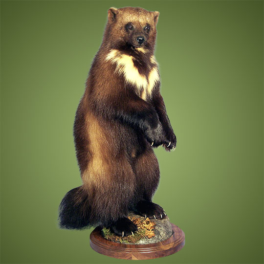 Thick-Walnut-Round-Taxidermy-Base-Wolverine-Mount