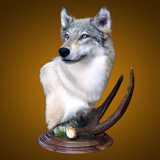 Two-Tier-Round-Walnut-Taxidermy-Base-Wolf-Mount