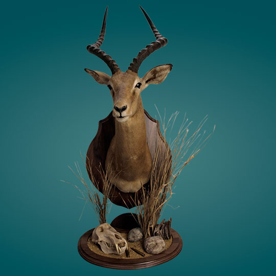 Universal-Taxidermy-Display-Bracket-Walnut-Impala-Mount
