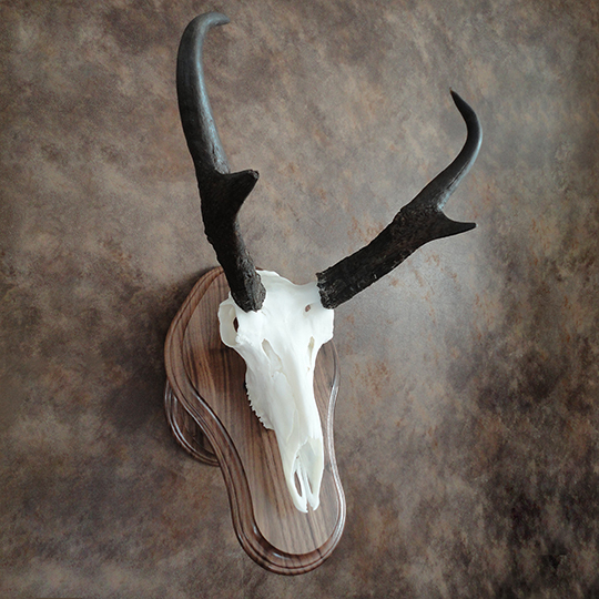 Walnut-Euro-Base-Antelope-Mount