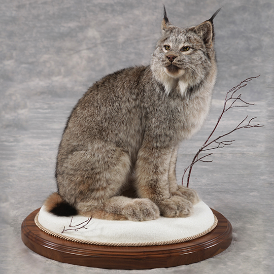 Thick_Walnut_Oval_Base_Taxidermy_Taxidermy_Mounted_38649_web