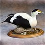 Common Eider Mount by Todd Huffman