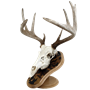 Deluxe Euro Skull Display Kit With Leaves Image With Mounted Deer Skull