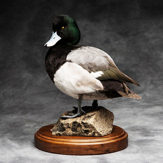 13Greater_scaup_professional_taxidermy_mount_on_walnut_flat_round_base