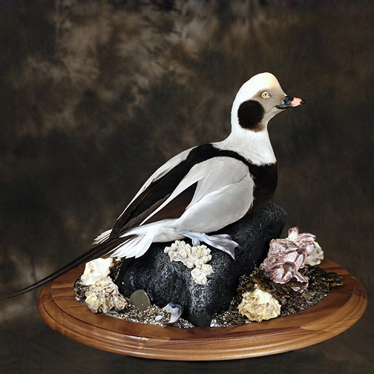22Old_squaw_professional_taxidermy_mount_on_walnut_oval_base