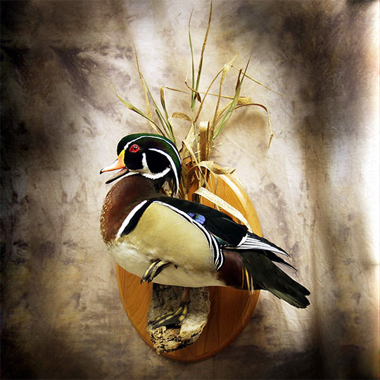 30Oval-Taxidermy-Plaque-Cherry-Wood-Duck-Mount