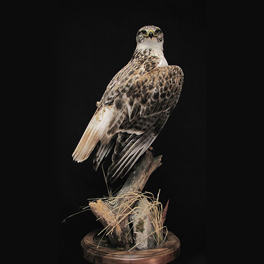 34Professional_taxidermy_mount_with_bird_of_prey