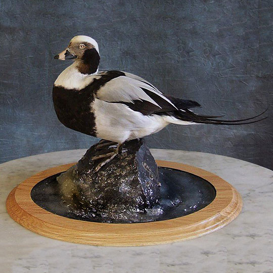 35Professional_taxidermy_mount_with_duck