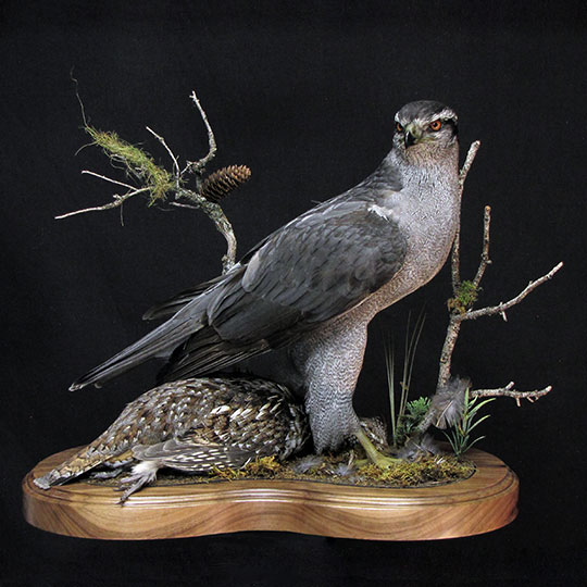 36Professional_taxidermy_mount_with_falcon