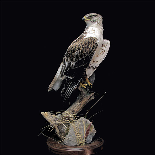 37Professional_taxidermy_mount_with_hawk_on_branch