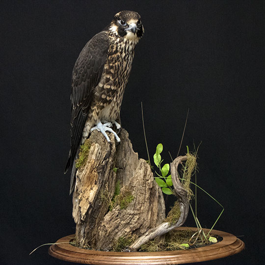 38Professional_taxidermy_mount_with_hawk_on_rock
