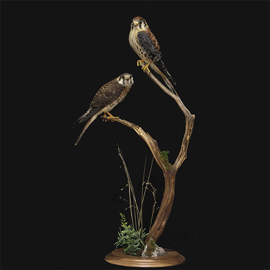39Professional_taxidermy_mount_with_hawks