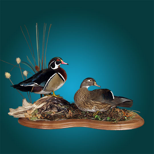 41Professional_taxidermy_mount_with_pair_of_ducks