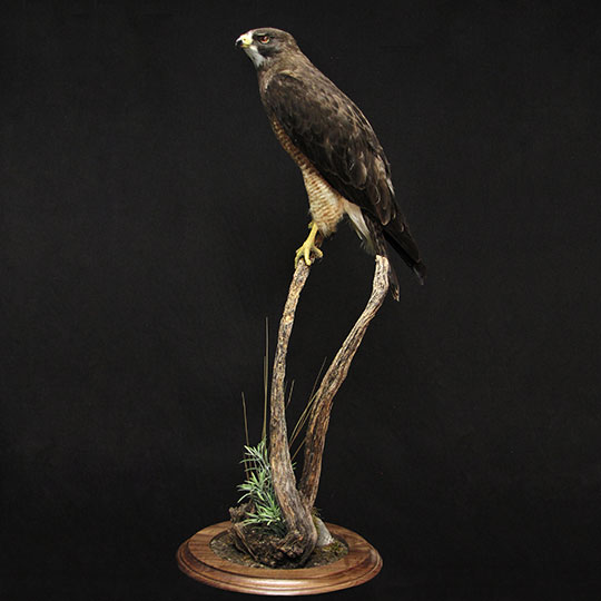 42Professional_taxidermy_mount_with_perched_hawk
