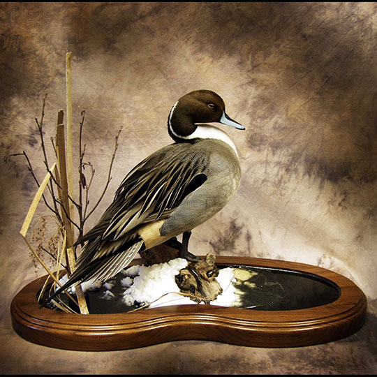60Thick-Multi-Use-Walnut-Taxidermy-Base-Pintail-Mount