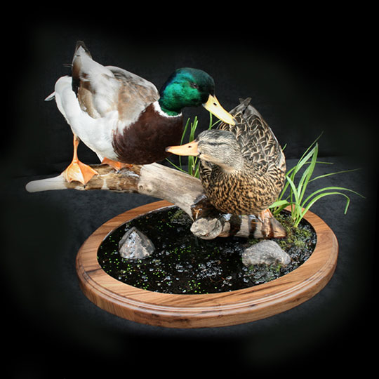 61Thick-Oval-Walnut-Taxidermy-Base-Duck-Mount