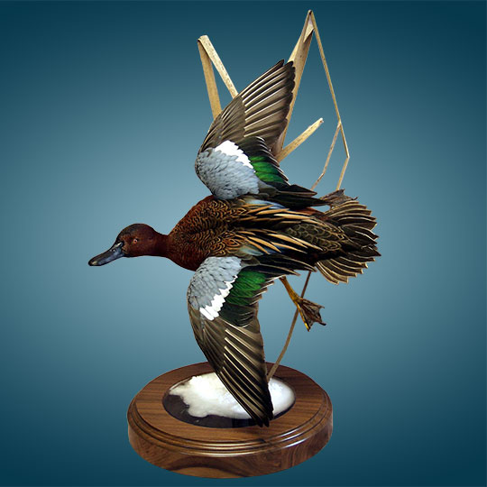 64Thick-Round-Walnut-Taxidermy-Base-Cinnamon-Teal-Mount