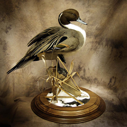 73Two-Tier-Round-Walnut-Taxidermy-Base-Pintail-Mount