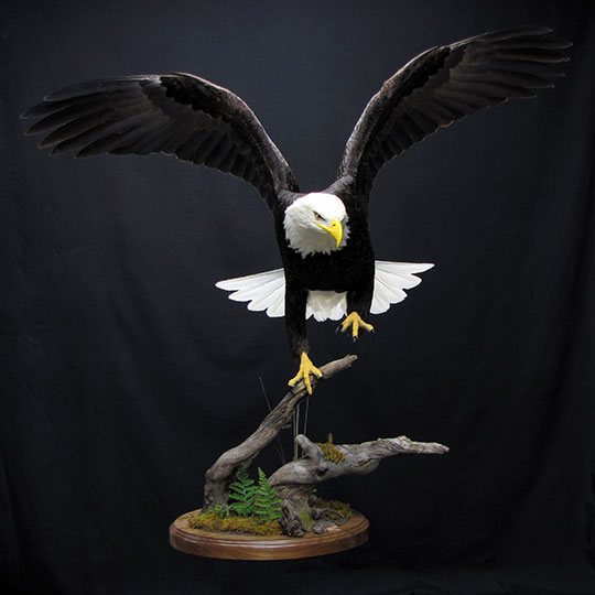 8Eagle_professional_taxidermy_mount