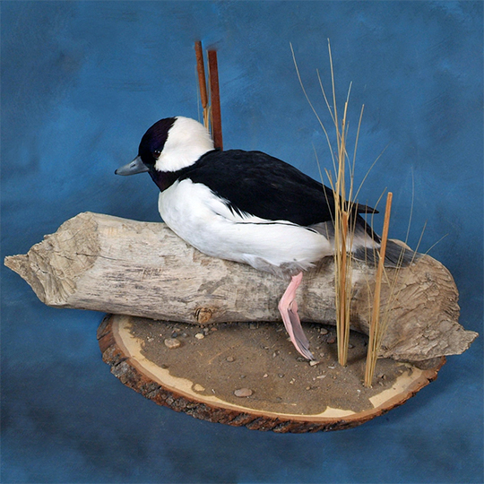 Basswood-Country-Round-Taxidermy-Bufflehead-Mount-2