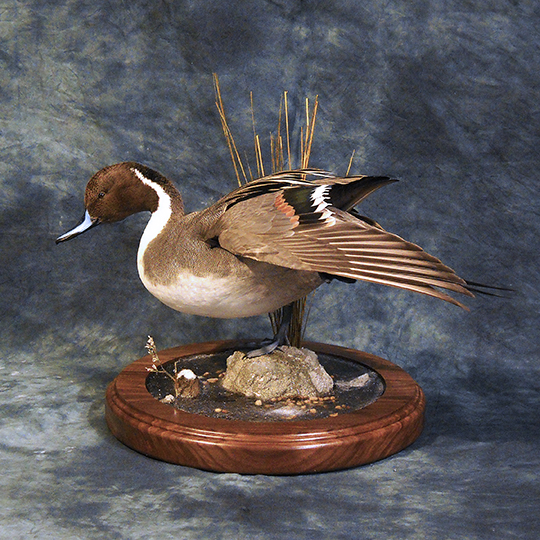 Bo-Nielsen-Flight-feather-Taxidermy-Pintail-Mount