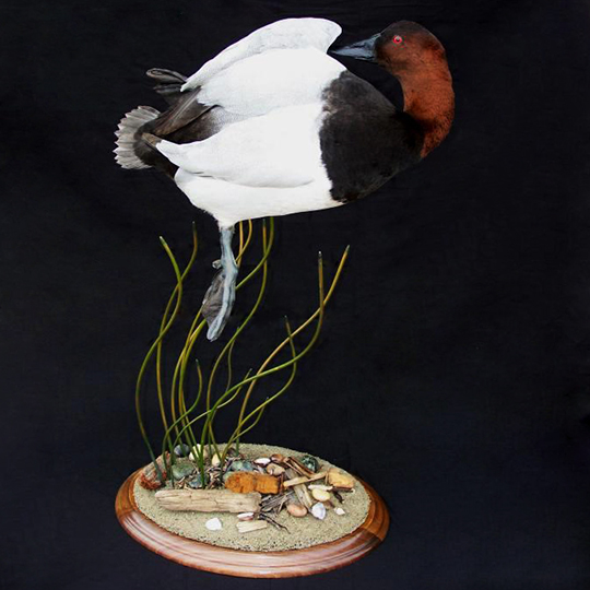 Round-Taxidermy-Base-Walnut-Red-Headed-Duck-Mount